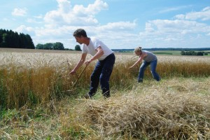 Kooperative Dürnau bei der Weizenernte, wie zu Uropas Zeiten