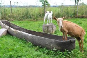 Ziegen im Federseemuseum Bad Buchau